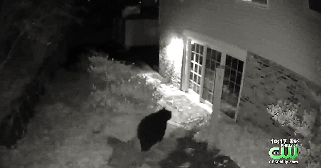 Delco Bear Spotted in Three Locations, From Villanova to Aldan