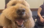 Dogs of Villanova: Maggie the Goldendoodle from Pals for Life