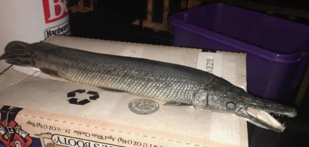 An Alligator Gar Fish Does Not Belong in This Radnor Park Pond, but a Resident Found One
