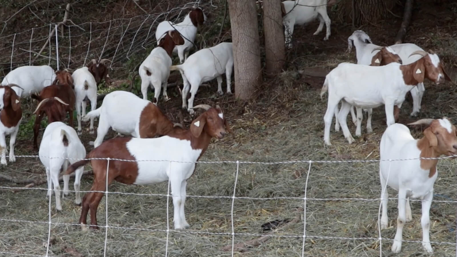 Goats on a Hill: Concordville Firm Solves Ridley Neighborhood Plant Problem