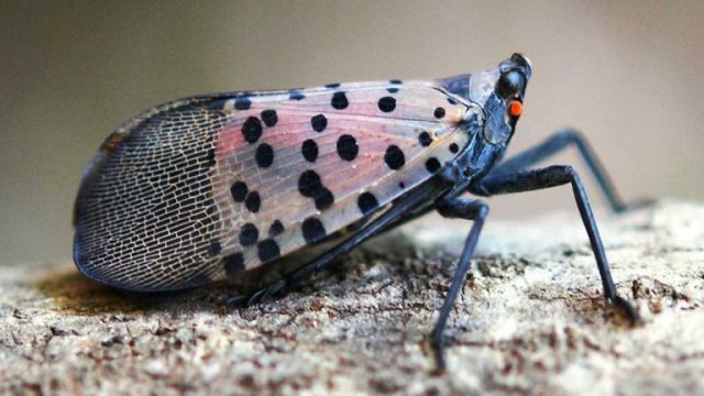 Natural Predators Might Lead to Lanternfly Demise