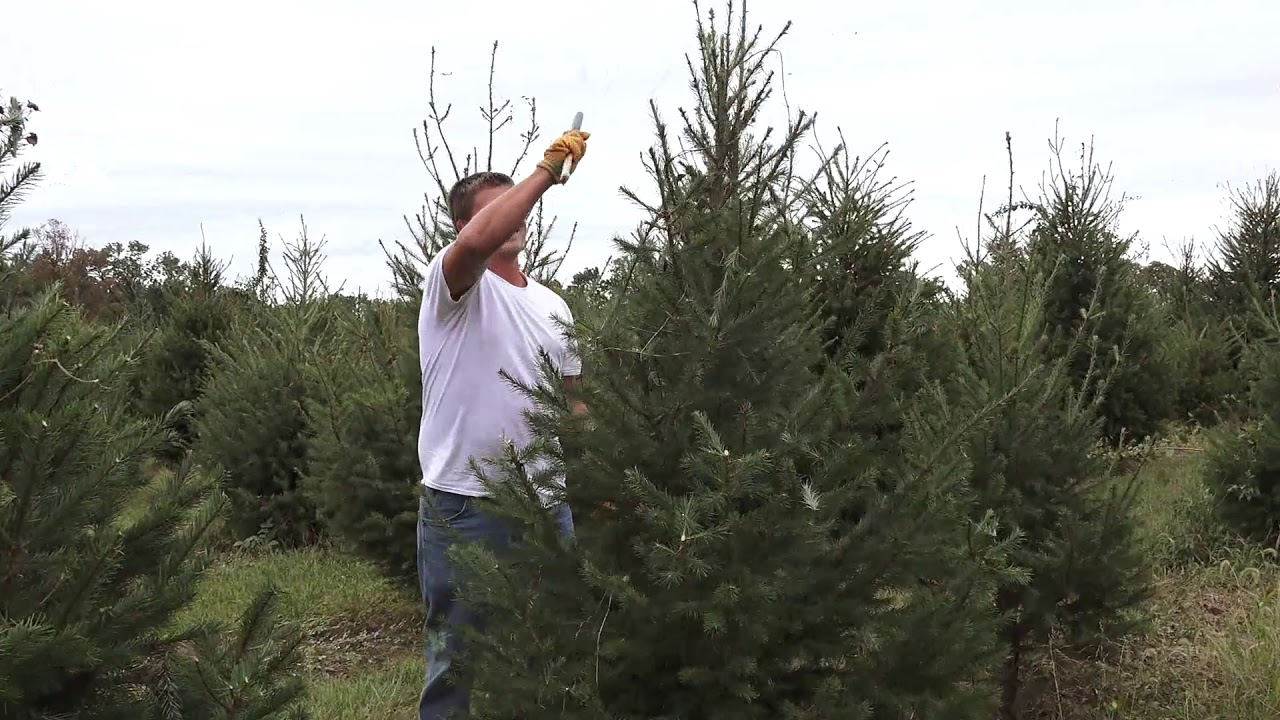Cut Your Own Christmas Tree at This Delaware County Farm Starting This Week