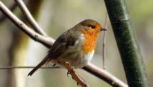 A robin perched in a tree, some of the songbirds stricken with a mysterious disesase.