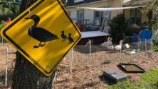 A duck crossing sign at an urban farm at a Drexel Hill home.